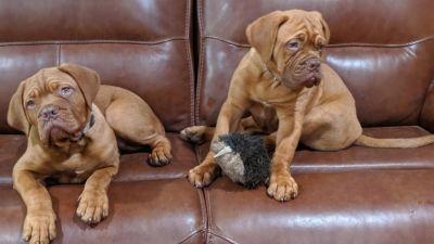 Dogue De Bordeaux puppies on couch 2