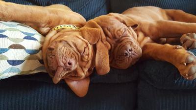 Dogue de Bordeaux Puppies sleeping