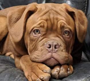 Dogue de Bordeaux Puppy close up