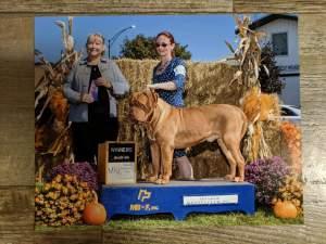 Bloom County award winning dogue de bordeaux breeder