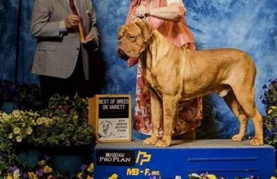 Blooms County Dogue de Bordeaux Awards 2