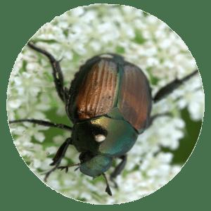 Japanese Beetles & Grub Control