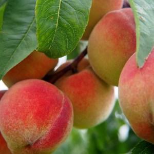 Peaches Fruit Link