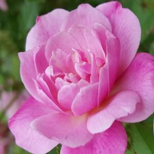 Pink Rose Link