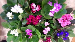 African Violets various colors