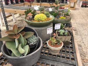 Succulents / Cactus