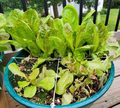 Harvest Leaf Lettuce