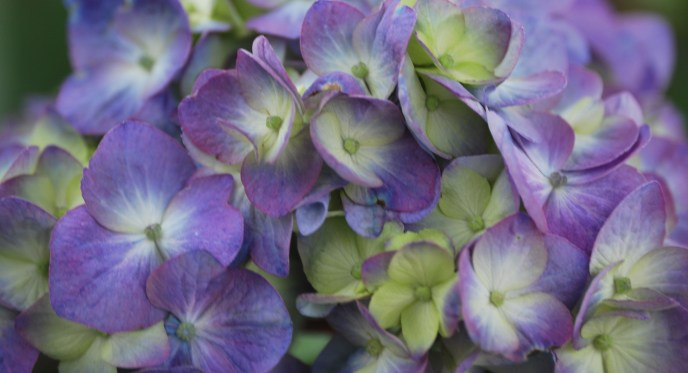 Purple-White-Green Hydrangea