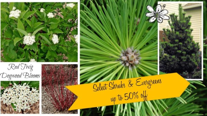 Shrubs & Evergreens up to 50% off