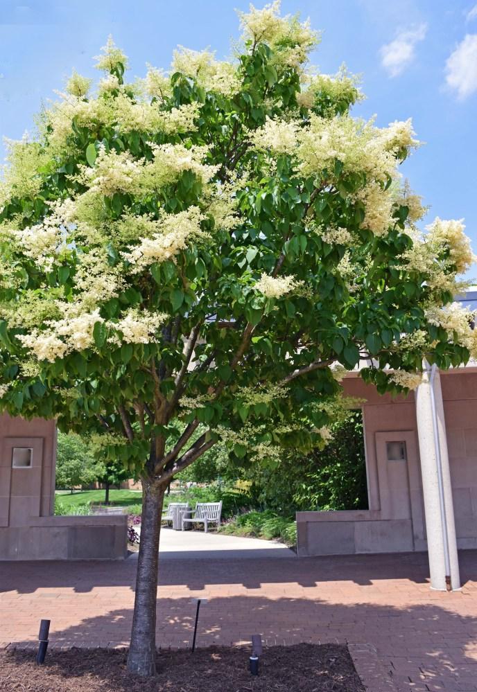 Ivory Silk Japanese Lilac Tree (2)edit
