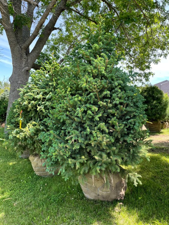 meyer spruce