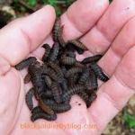 Mature Black Soldier Fly Larvae