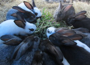 Rabbits chowing down on purslane and sweet potato vines.