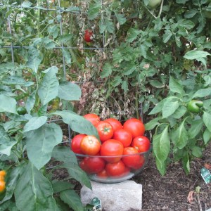 Tomatoes from Super Fantastic Variety!