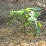First Fruit Tree on the Homestead; Looking Forward to Figs