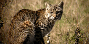 A Night Visitor to the Farm; Bobcat!