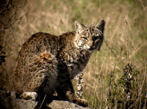 Bobcat, a fierce threat to the urban farm.