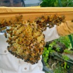 Splitting the Bee Hive! The New Bee Adventure Continued!