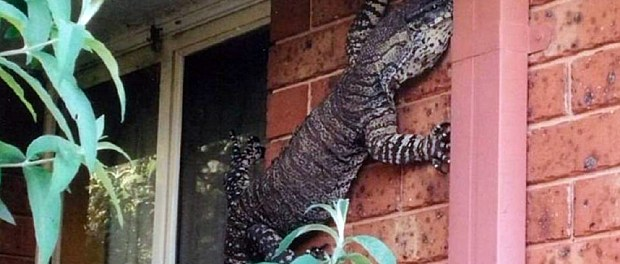 Giant lizard crawling on Australian wall.