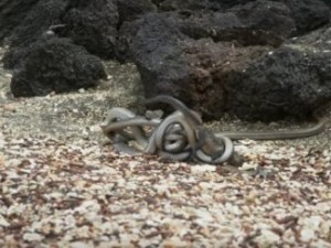 Racer snakes attack baby marine iguana on Galapagos Islands