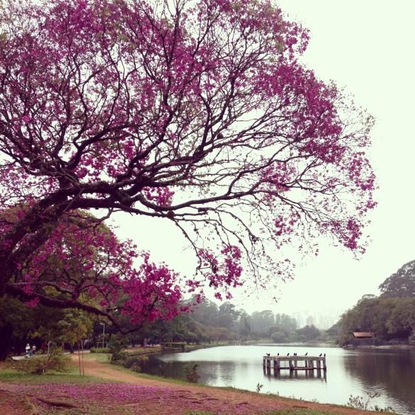 Cherry Blossom, Ibirapuera, São Paulo