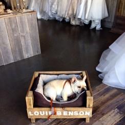 Louie Benson, French Bulldog, Mascot, Los Gatos