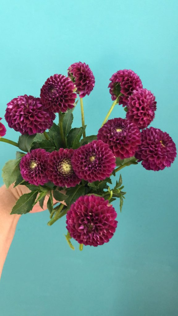 Burgundy Ball Dahlias