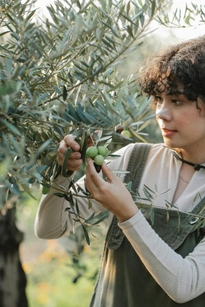 farmer touching bunches of green olives on plantation