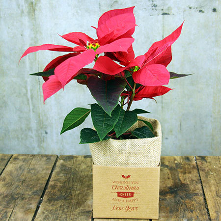 lovely Poinsettia Christmas Flowers That are great for a table or a gift