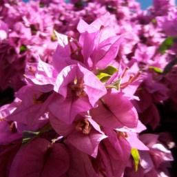 Gethsemane pink