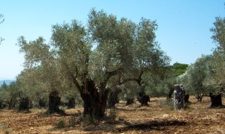 An olive grove on the way up Mt. Carmel