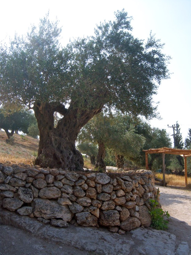 Some of these trees are hundreds of years old, and the offspring of trees that would have been growing when Jesus was raised here.