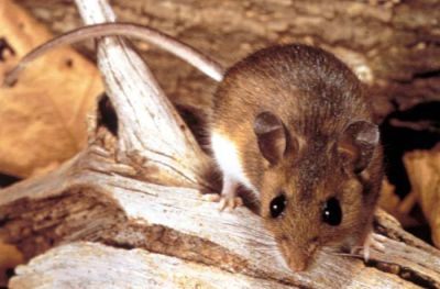 Risk of rare but deadly mouse-borne virus increases in spring ...
