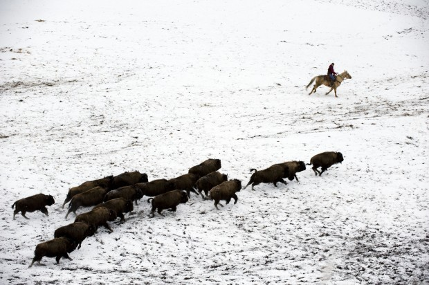 Request to stop bison transfer to Fort Peck denied