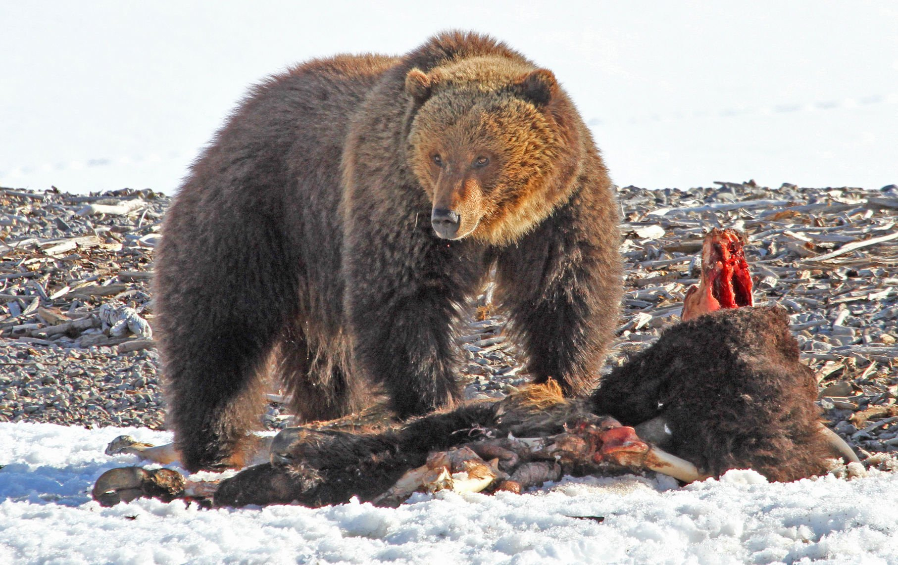 First Grizzly Bear Of 2019 Seen In Yellowstone Montana Untamed Billingsgazette Com