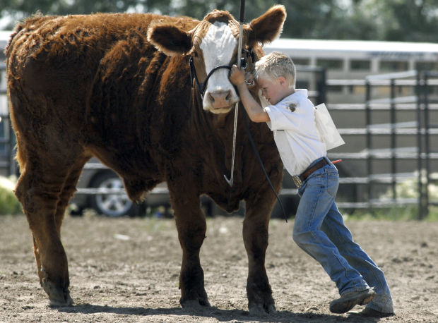 Image result for 4H cattle showing