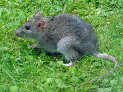 Rat Population Surging In Town Neighborhoods | Sandwich News ...