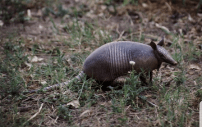 armadillo sighted near columbus