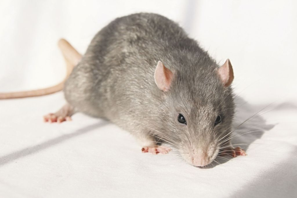 Possible cases of rat-borne Seoul virus in state | News ...