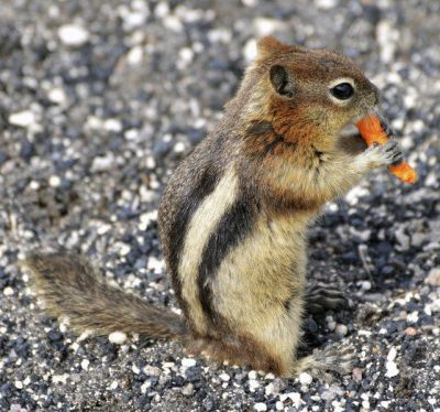 outdoors winter chipmunks are