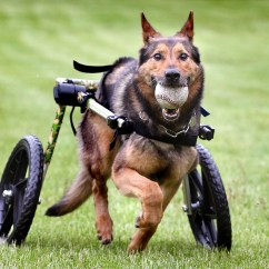 Wheelchair Dog Real Leather Dining Room Chairs Retired La Crosse Police Regains Mobility With Donated