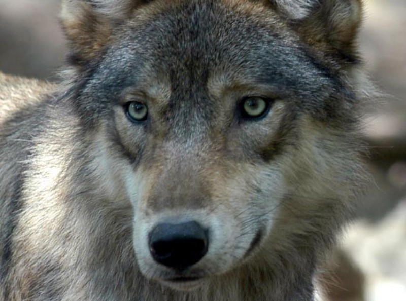 Wisconsin Minnesota Ask Feds To Remove Gray Wolf From