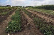 Genetically Engineered Potatoes Canada