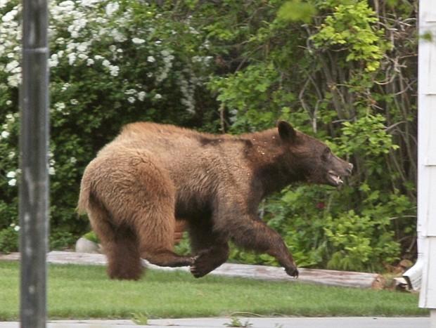 Billings black bear (copy)