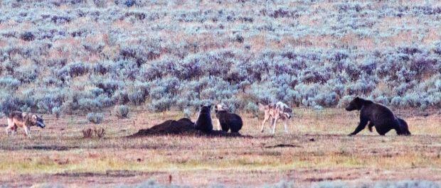 Three cubs