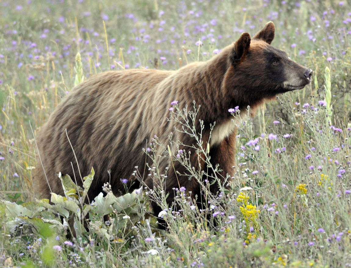 Black Bear Activity Prompts Officials To Close Some