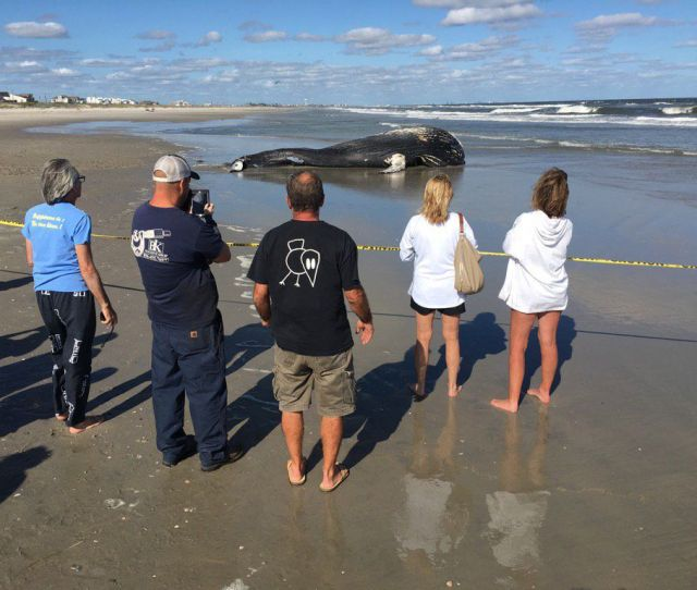 Young Humpback Whale Washes Up In Sea Isle City