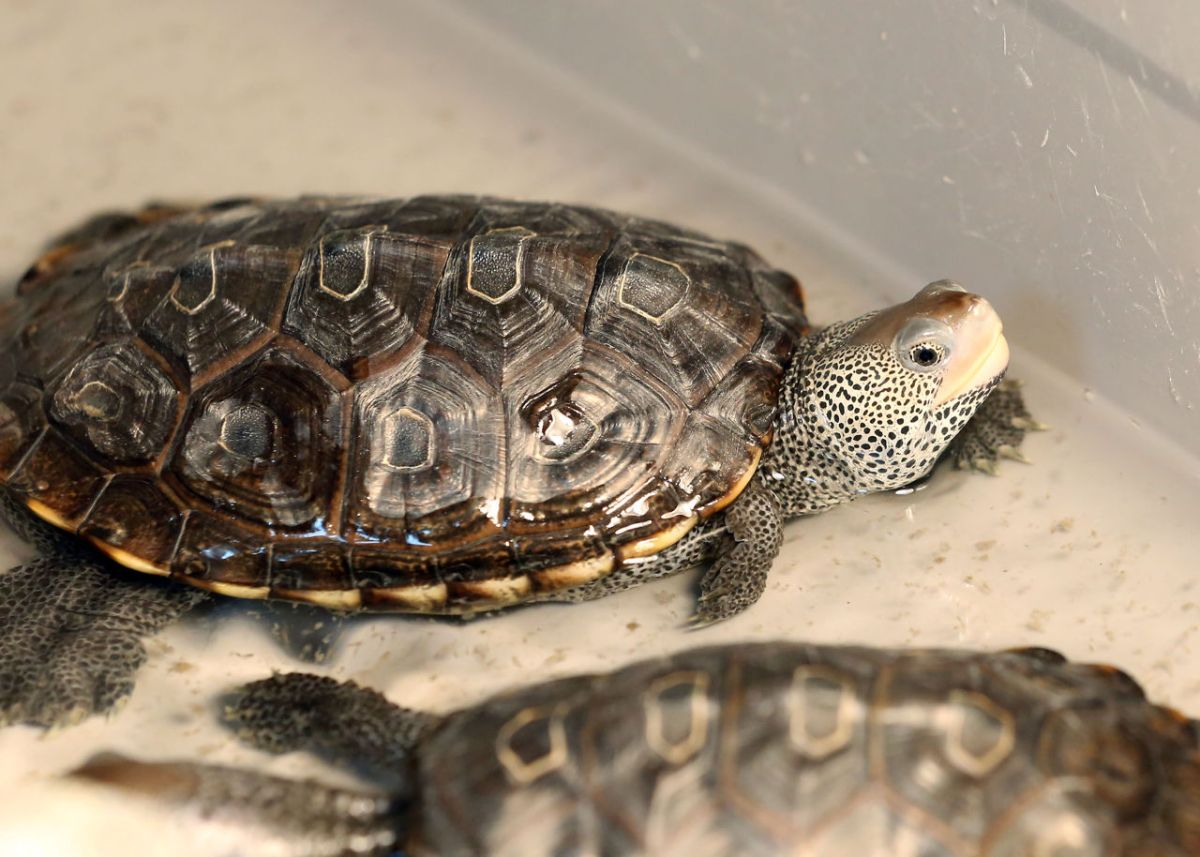 Vulnerable Terrapins Find Loyal Fans In South Jersey