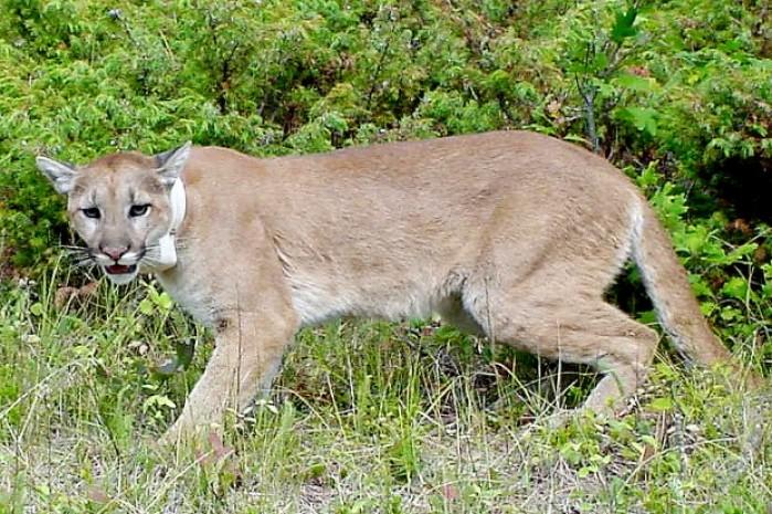 Gf Amp P Raises Mountain Lion Estimate In Black Hills