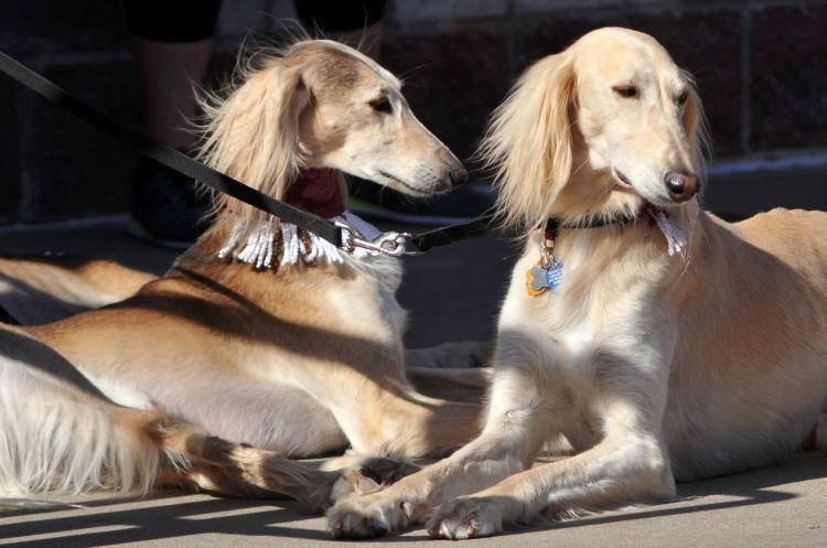 Leisure   Raising SIU namesakes: The 'real' Salukis are a breed ...
